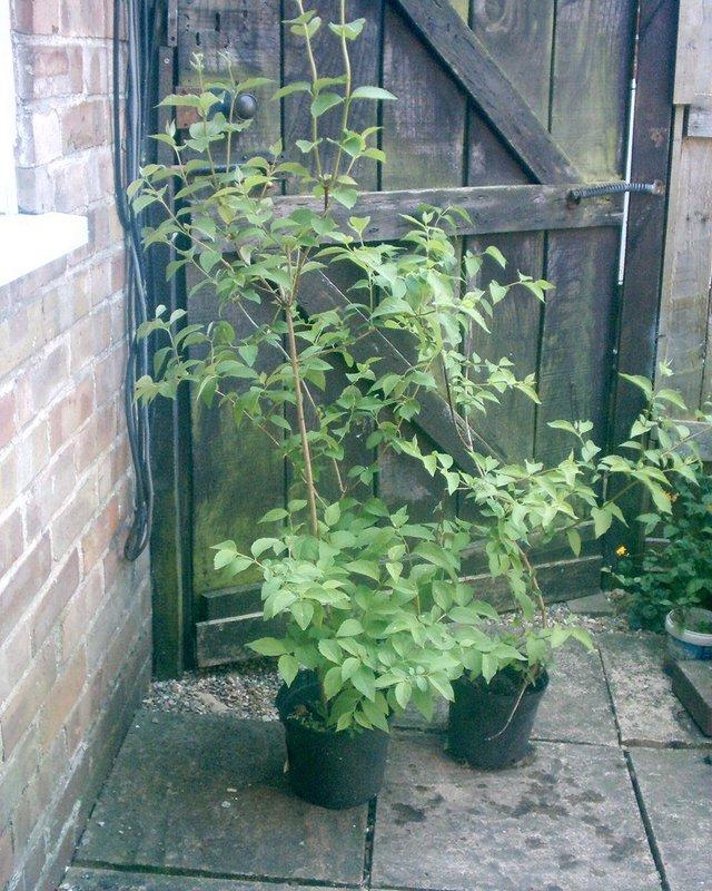Image 2 of mock orange for sale