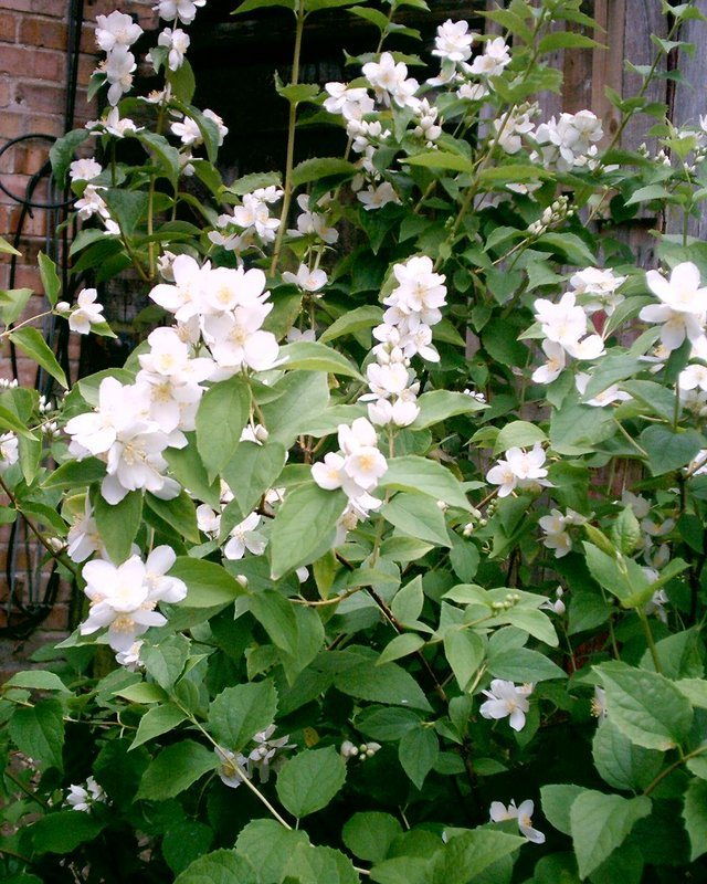 Preview of the first image of mock orange for sale.