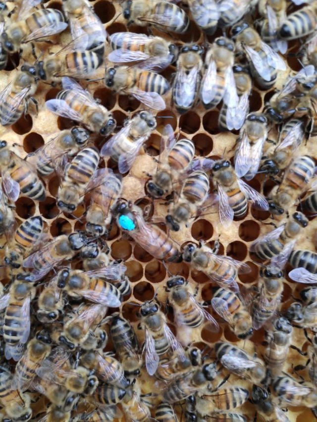 Preview of the first image of Buckfast Queen Bee mated, marked and Clipped.