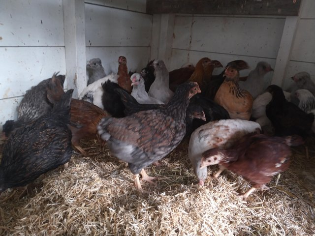 Preview of the first image of Welsummer pullets.