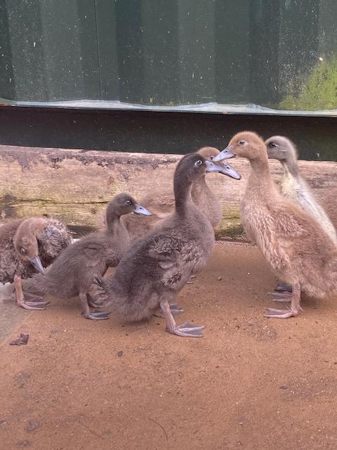 Image 2 of Young Karki Campbell Ducks