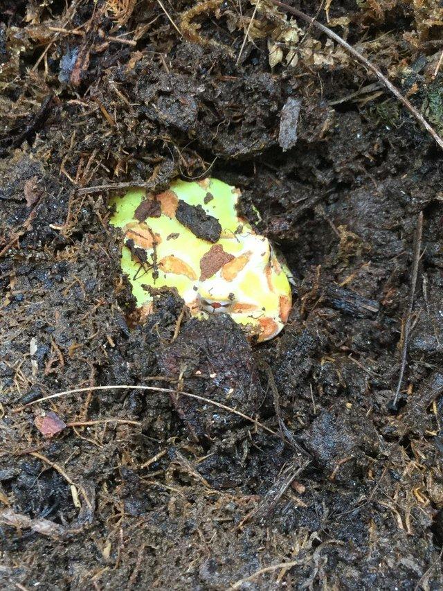 Image 2 of Horned frog £65