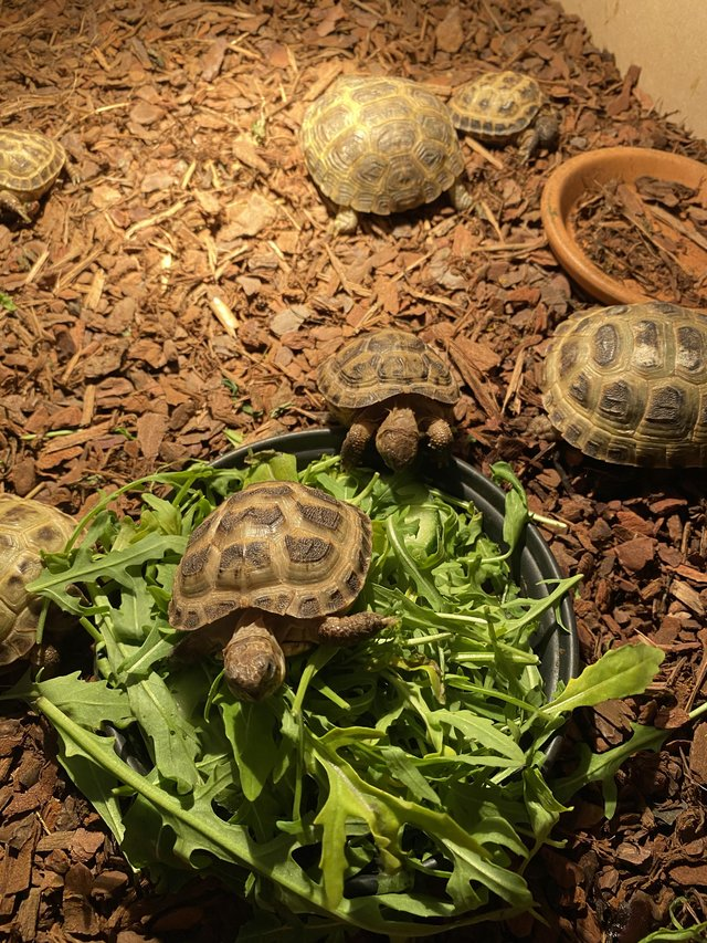 Preview of the first image of Full horsefield tortoise setup.