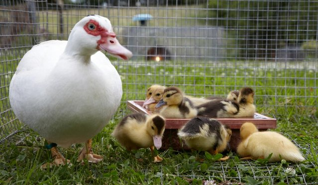 Image 2 of Muscovy Ducks & Ducklings various ages for sale