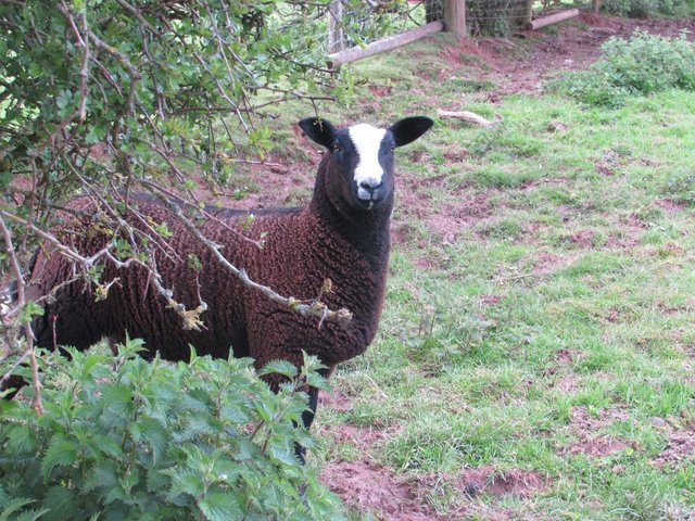 Preview of the first image of Well bred Zwartble s ewe lambs MV /pedigree.