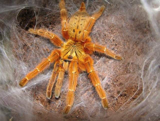 Preview of the first image of Pterinochilus murinus Tarantula.