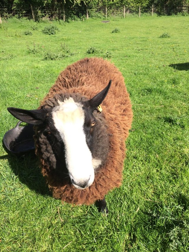 Preview of the first image of Zwartbles shearling tup.