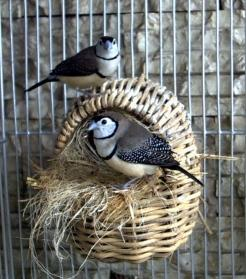 Preview of the first image of 12 breeding pairs of owl finches for sale.£84 for a pair.