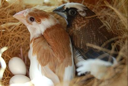 Image 2 of 12 Breeding pairs of fawn colour bengali finches for sale.