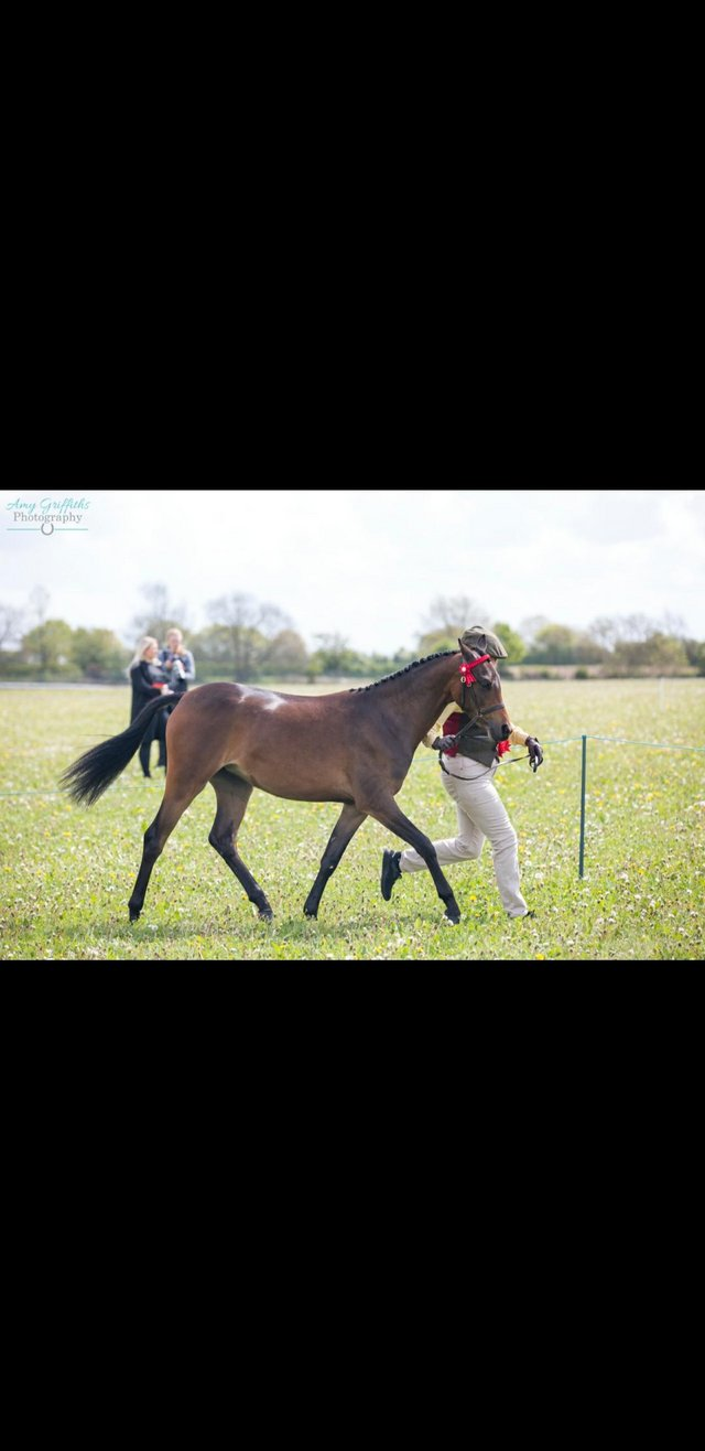Image 2 of Partbred welsh