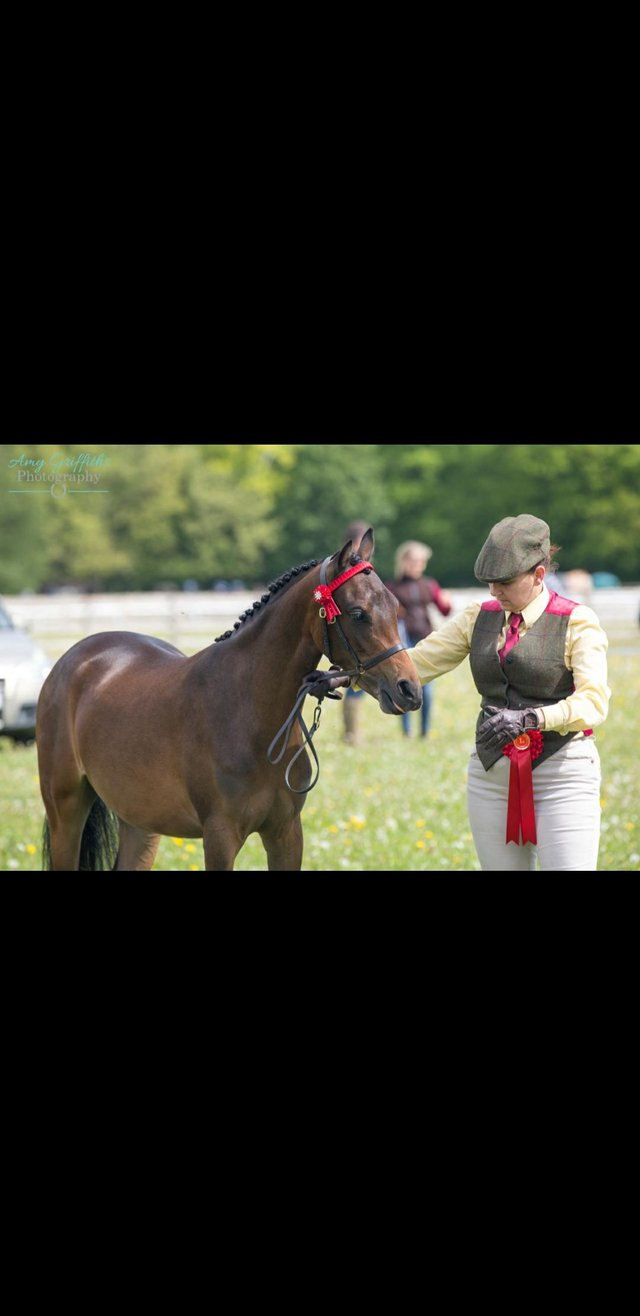 Image 3 of Partbred welsh