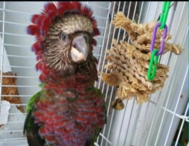 Image 2 of Hawks Headed Parrot cage n toys