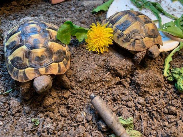 Preview of the first image of Baby Hermann Tortoises.