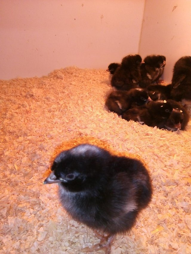 Preview of the first image of chicks for sale from £3-£5 each.