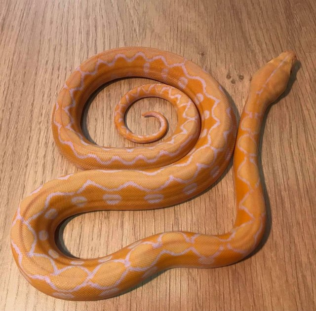 Preview of the first image of White phase albino sunfire retic.