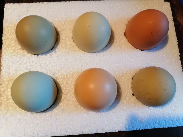 Preview of the first image of Hybrid hatching eggs.