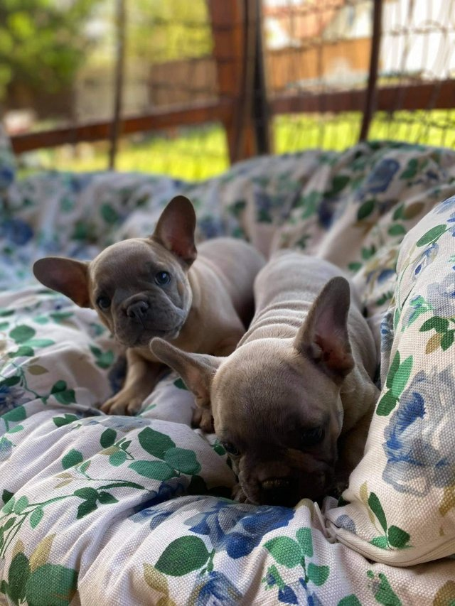Image 2 of French bulldog puppy looking for a new home