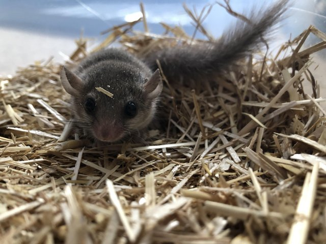 Image 2 of African Pygmy Dormice / Micro Squirrels