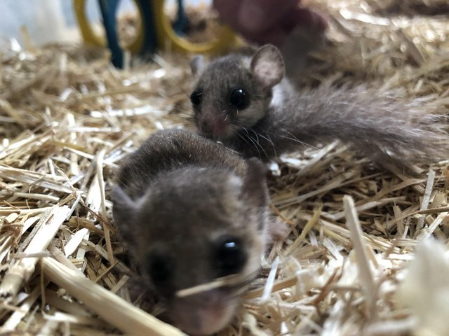 Image 3 of African Pygmy Dormice / Micro Squirrels