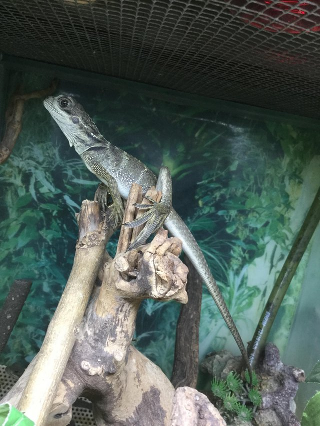 Preview of the first image of Sailfin water dragon £199.