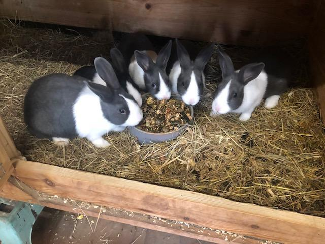 Preview of the first image of For Sale baby Dutch rabbits.