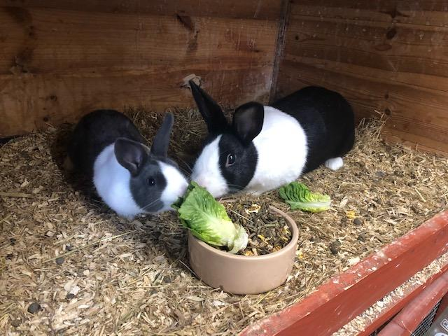 Image 2 of For Sale baby Dutch rabbits