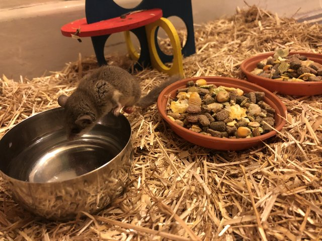 Image 4 of African Pygmy Dormice / Micro Squirrels