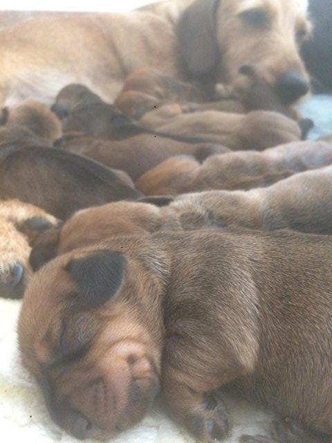 Image 4 of wirehaired dachshund puppies