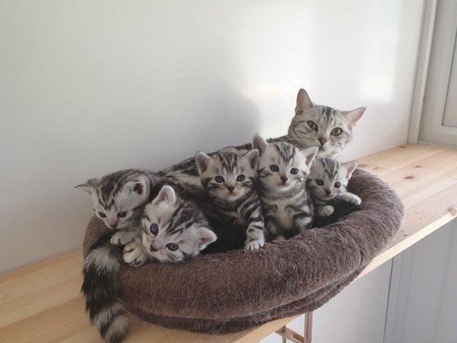 Preview of the first image of BSH Silver Tabby Kittens Available.