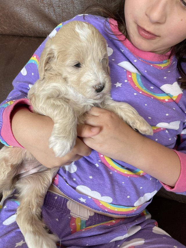 Image 5 of Goldendoodle puppies health tested