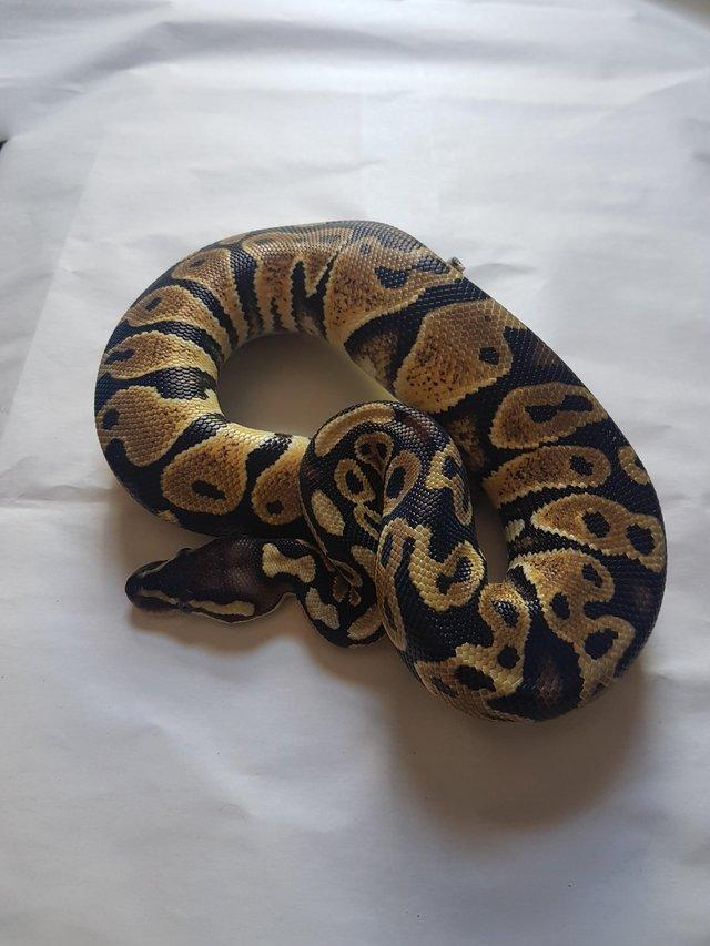 Preview of the first image of Male pastel het ghost pos het pied ball python.