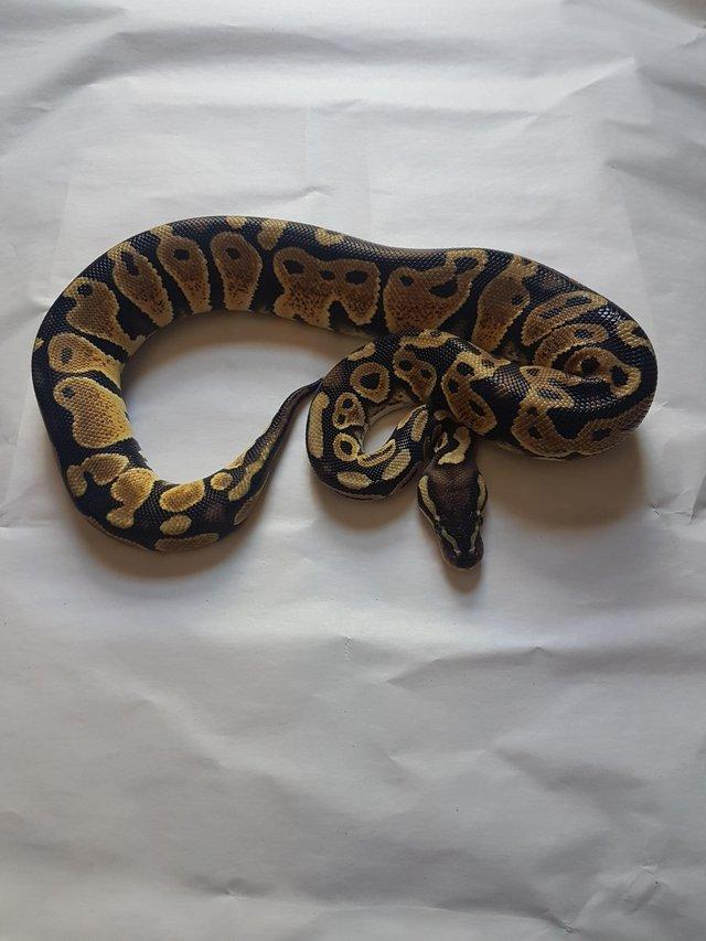 Image 3 of Male pastel het ghost pos het pied ball python