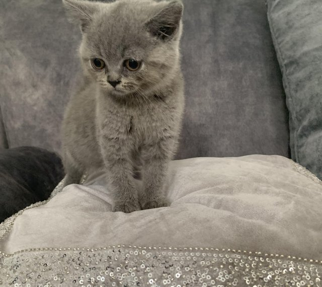 Preview of the first image of Stunning British Shorthair Blue Kittens.