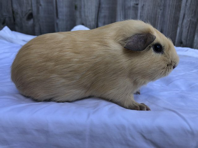 Preview of the first image of Friendly male guinea pigs.