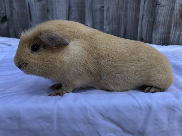 Image 5 of Friendly male guinea pigs