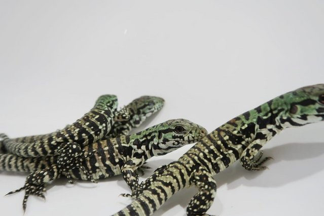 Preview of the first image of UKCB 2021 Argentine Black and White Tegu BABIES!.