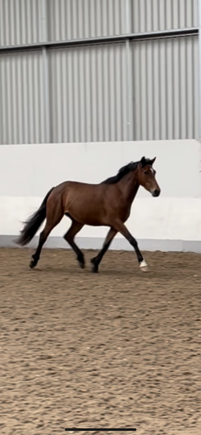 Preview of the first image of 3 Year Old Connemara x TB Mare.