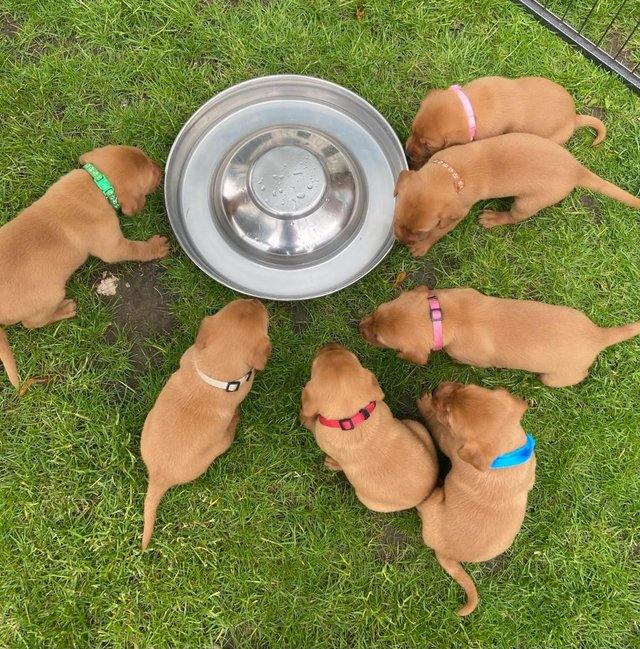 Preview of the first image of *KC Fox Red Labrador puppies*.