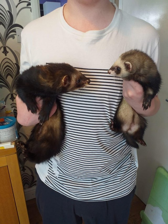 Preview of the first image of Ferret kits for sale.