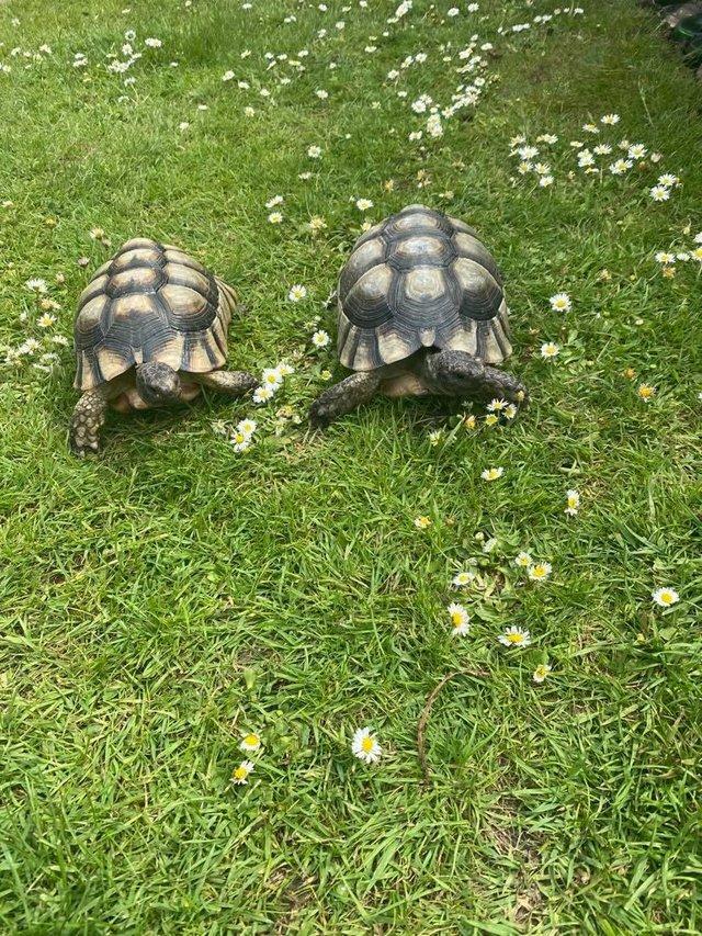 Image 3 of 2011 male marginated tortoises