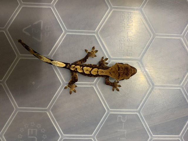 Preview of the first image of Crested Geckos.
