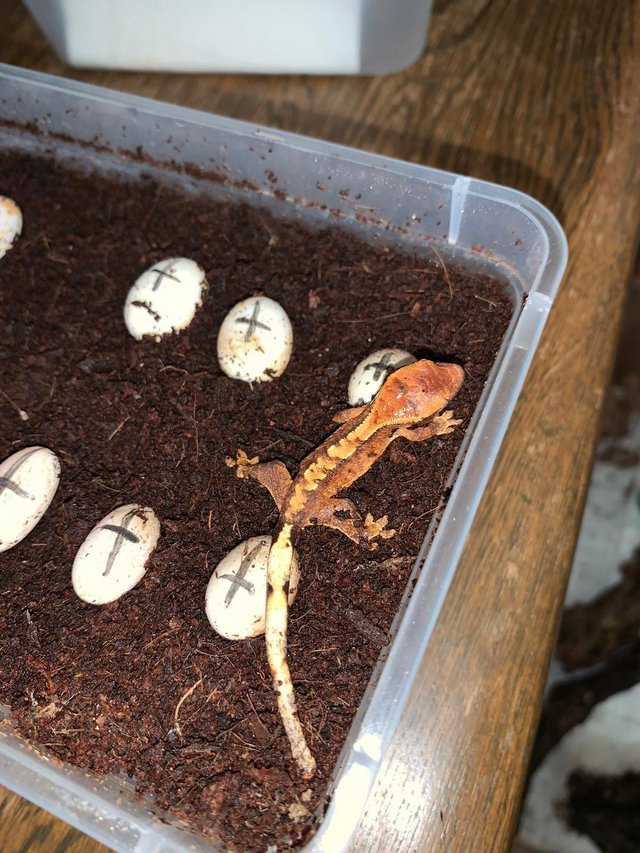 Image 3 of Crested Geckos