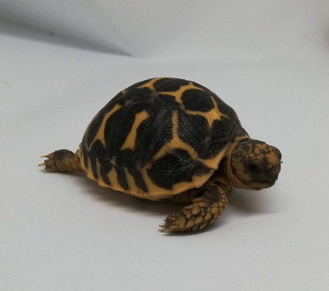 Preview of the first image of Beautiful baby indian star tortoises.