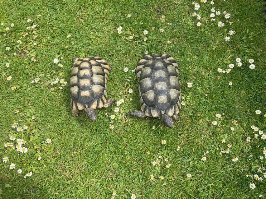 Image 2 of 2011 male marginated tortoises
