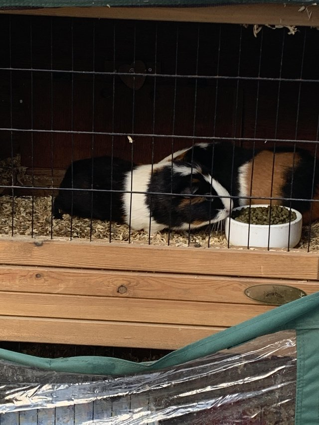 Preview of the first image of Guinea pigs full set up cage run ect.
