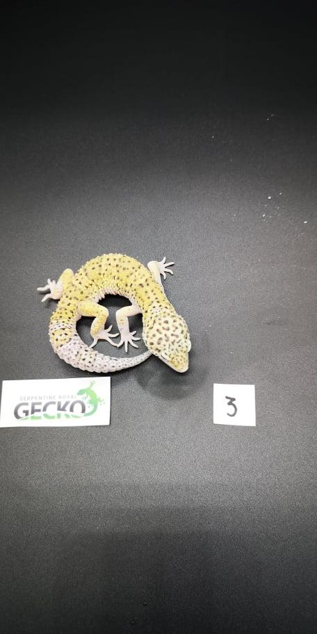 Preview of the first image of Leopard Gecko's For Sale PRICE REDUCED/Updated.