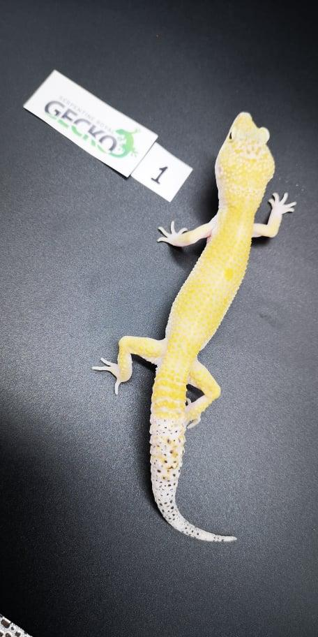 Image 2 of Leopard Gecko's For Sale PRICE REDUCED/Updated