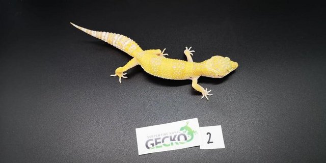 Image 3 of Leopard Gecko's For Sale PRICE REDUCED/Updated
