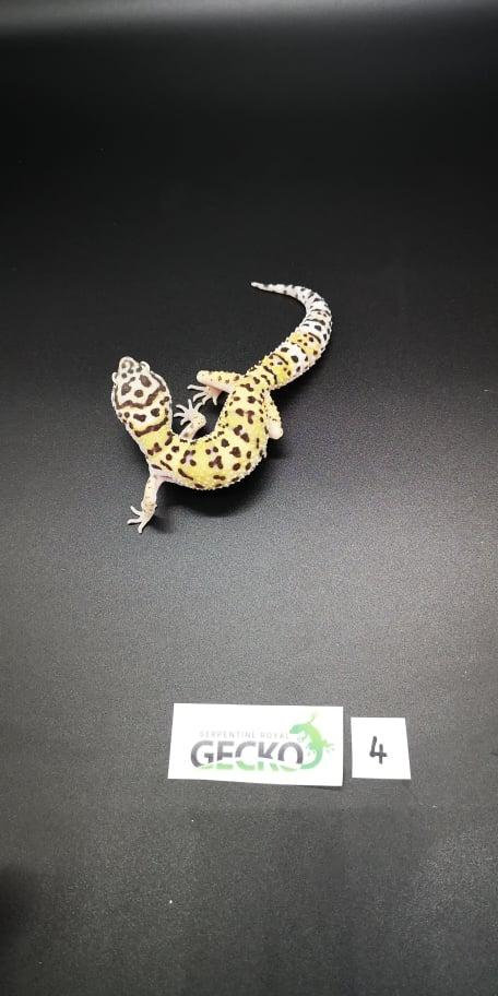 Image 4 of Leopard Gecko's For Sale PRICE REDUCED/Updated