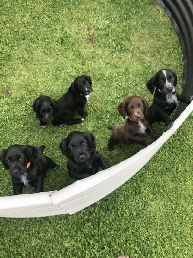 Image 2 of Working cocker spaniel puppies